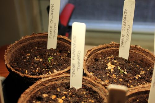 Purplecalabash_heirloom_seedlings_190411